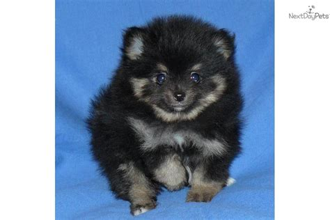 black pomeranian puppies for sale black pomeranian puppies for sale breeds picture