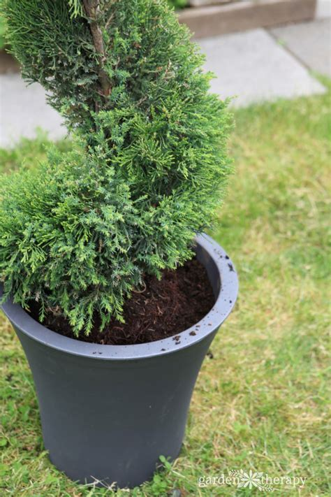 care and pruning for decorative topiaries garden therapy howldb