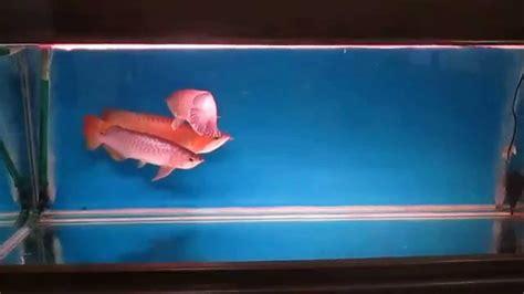 Anakan Arwana Banjar ikan arwana golden dan banjar