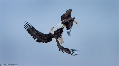 bald eagles mating mating eagles cartwheel across the sky with talons locked