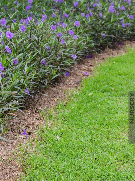 Indoor Decorative Plants 2 Mexican Petunia Ruellia Brittoniana Plants Kens Nursery