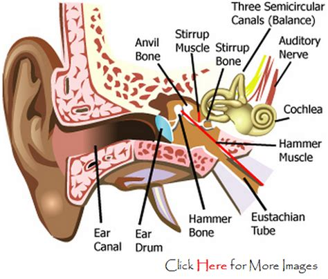 labeled ear diagram ear picture with label