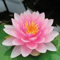 water lily darwin hollandia from mr fothergill s seeds