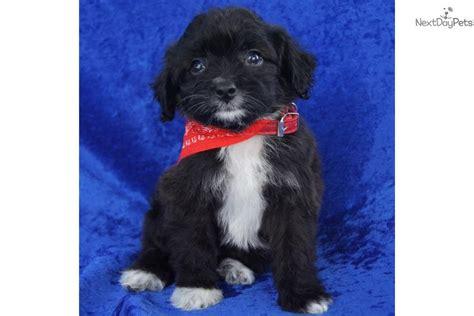 aussiedoodle puppies for sale near me aussiedoodle puppy for sale near joplin missouri ff919137 3871