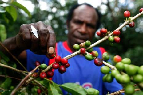 Tembakau Shag Cangklong Nikmat Harum mencintai kopi nusantara berarti turut melestarikan kopi indonesia ini dia macam macam kopi