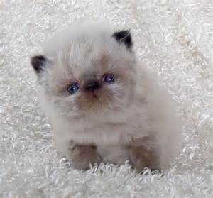 Mini Persian Rug 25 Best Ideas About Himalayan Cat On Pinterest Pretty