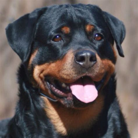 rottweilers for sale in 1573 best rottweiler images on rottweilers animals and puppies