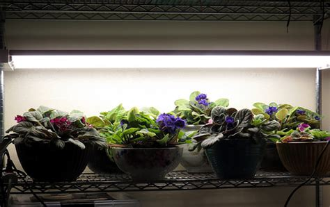 led lights for african violets inside urban green african violets in bubble sips growing