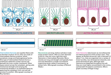 3 proteins in cytoskeleton the three types of cytoskeletal proteins are