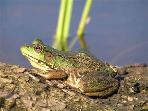 faq frogwatch