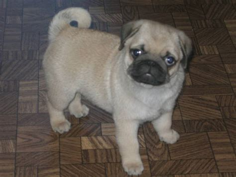 cuttest pug pugs photo 2151202 fanpop
