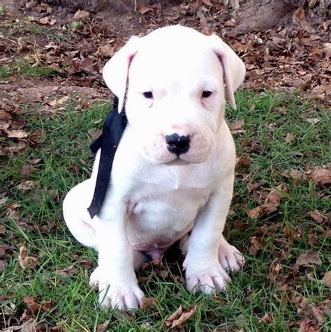dogo argentino puppies for sale 2016 dogo argentino puppies puppies puppy