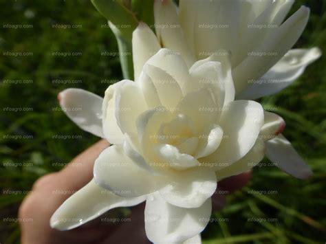 imagenes de flores nardos foto detalle de una flor de nardo