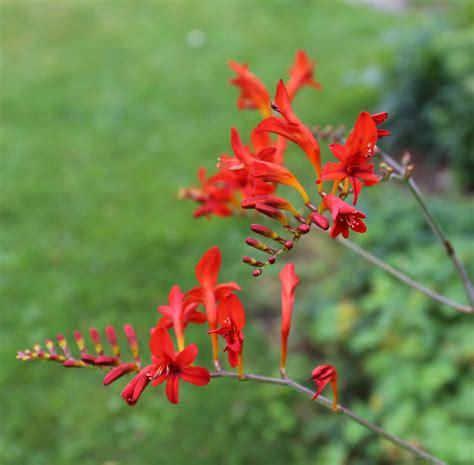 love hummingbirds grow some crocosmia longfield gardens