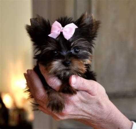 teacup yorkie names the gallery for gt teacup yorkie names