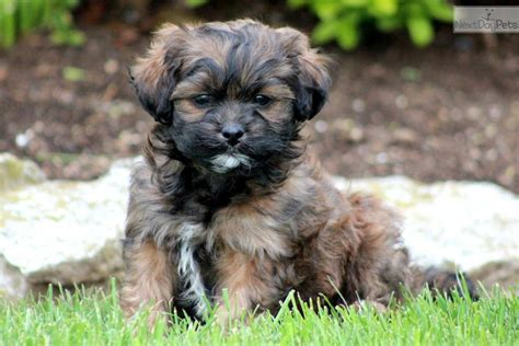 shih poo puppies pictures shih poo shihpoo puppy for sale near lancaster pennsylvania 78f1ee31 7b51