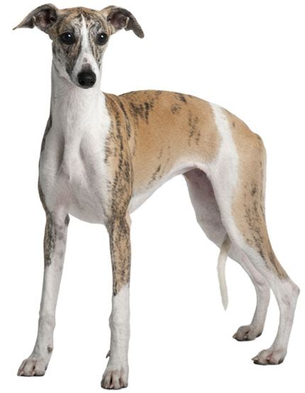 Do Italian Greyhounds Shed A Lot by Top 30 Dogs That Don T Shed Small Medium And Large