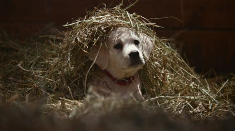 budweiser puppy commercial budweiser s big lost bowl commercial premieres and it s adorable