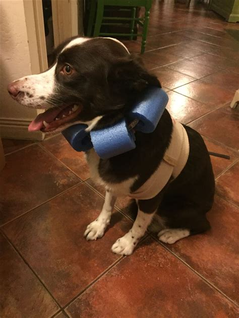 diy dog cone dog cone dog cone collar diy dog collar