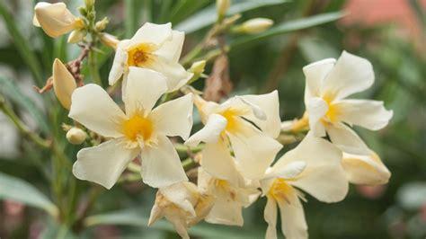 oleander standort garten oleander pflege schneiden und 220 berwintern