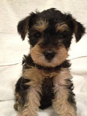 yorkie maltese mix puppies for sale in maryland 25 best ideas about schnauzer mix on miniature schnauzer schnauzer