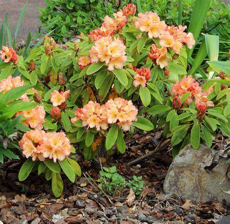 Rhododendron Vermehren by Gelb Bis Gelb Orange Bl 252 Hende Rhododendren Garten Wissen