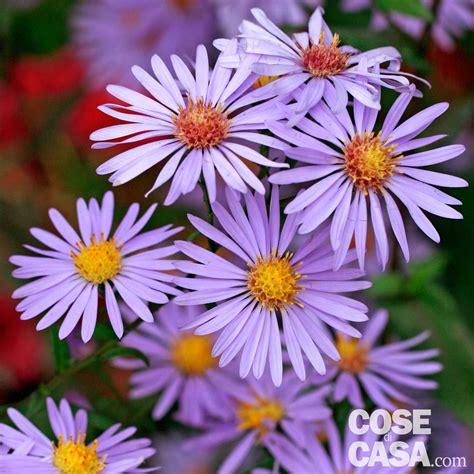 astri fiori astri settembrini cose di casa