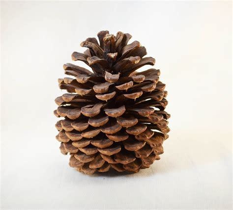 ponderosa pine cone circa 1980s by vintageexpedition on etsy
