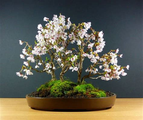 vasi bonsai giapponesi bonsai ciliegio schede bonsai