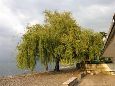 salice piangente in vaso salice piangente alberi caratteristiche salice piangente