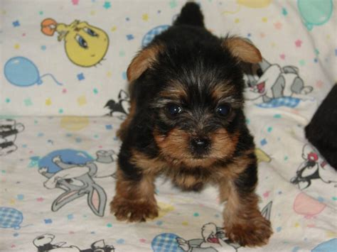 yorkie terriers for free two teacup yorkie puppies for free adoption to a home hairstyles