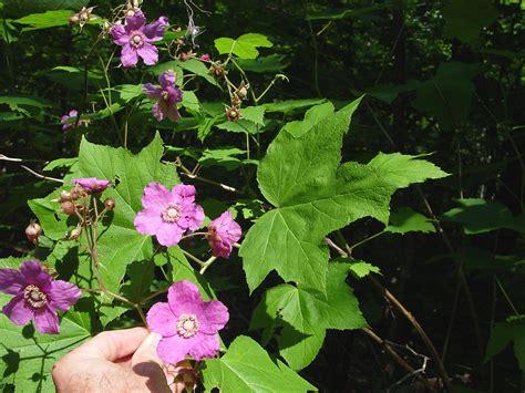 flowering raspberry shrub rubus odoratus flowering raspberry go botany
