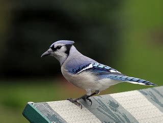 how to attract blue jays to your backyard how to attract blue jays a guide to blue jay birdhouses