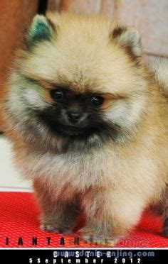 Jual Aksesoris Anjing Mini by Pomsky Puppies For Sale Half Husky And Half Pomeranian