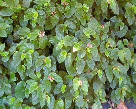 low growing shrubs with flowers gardensonline begonia shrub like