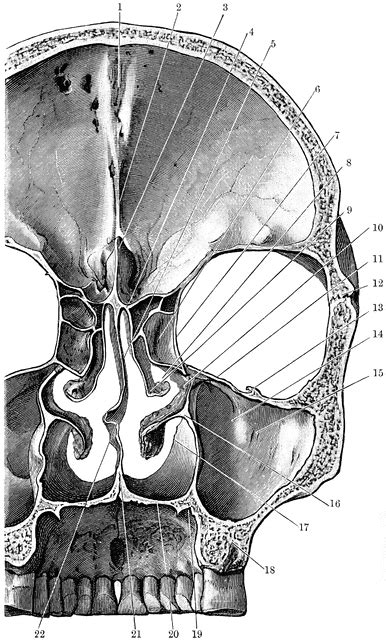 coronal section of skull coronal section of skull clipart etc
