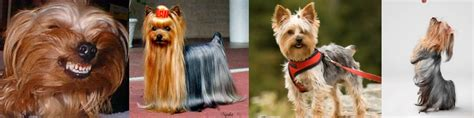 yorkies south africa what is that most unpopular breeds breeds picture