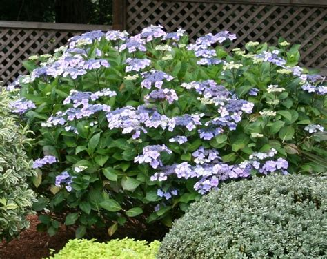 shade tolerant flowering shrubs coastal gardening shade loving plants for the sea coast