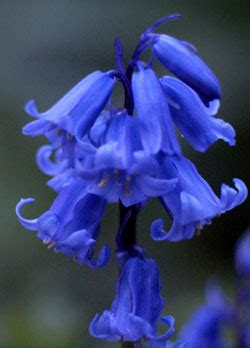 Wedding Bell Blues Meaning by Free Photo Of Bluebell Flower