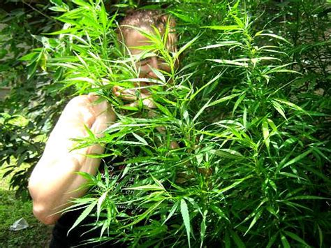 Yes Im A Ganja Planter by Jamaican High Grade Growing Jamaica Way