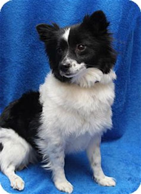 spitz and pomeranian mix harmony adopted wichita ks spitz unknown type small pomeranian mix