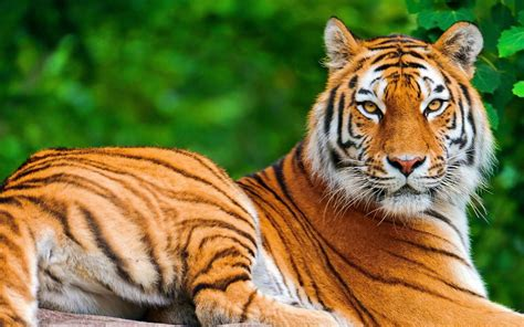 best images free best tiger wallpaper free