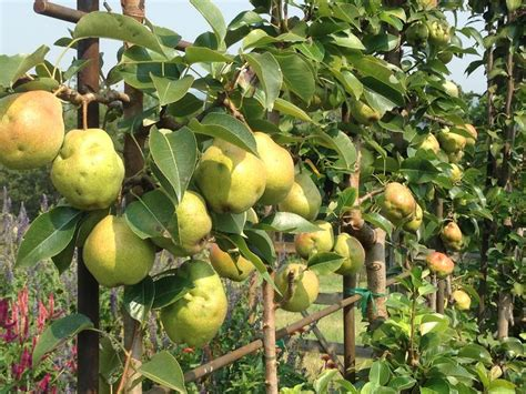 espaliered pear trees in the gardens gardening fruit