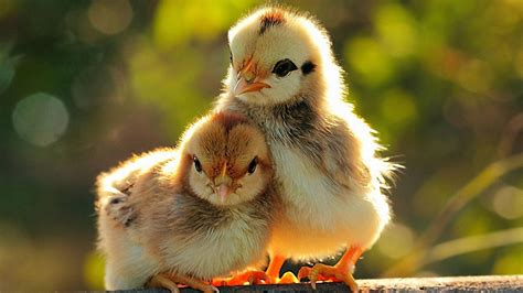 wallpaper hd 1920x1080 cute 1920x1080 cute chicken 1080p full hd wallpapers
