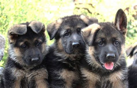 when do you give puppies their what you need to about your german shepherd puppy