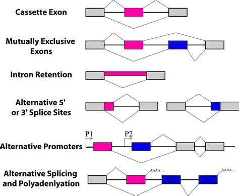 types of splice alternative splicing in c elegans