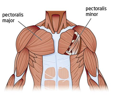 chest diagram push ups or bench press for a better chest greatist