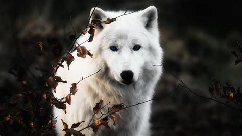 white wolf white wolf wallpapers hd pictures