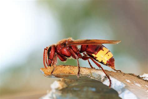 hornissennest im haus hornissennest im haus eine bedrohung f 252 r menschen