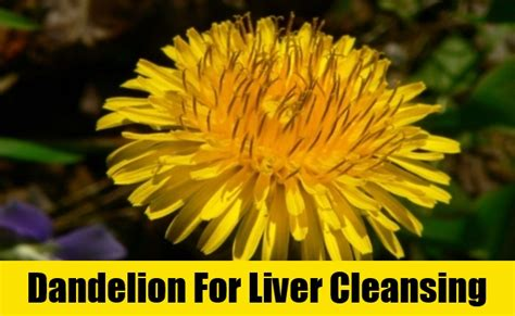 Dandelion Detox Liver by 5 Herbs For Liver Cleansing 5 Herbs To Cleanse Your